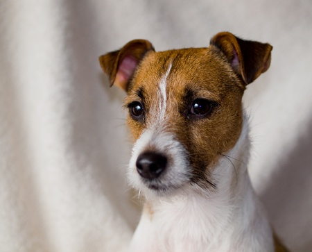 Portrait of a Cute Jack Russell Terrier Stock Photo - 16494057