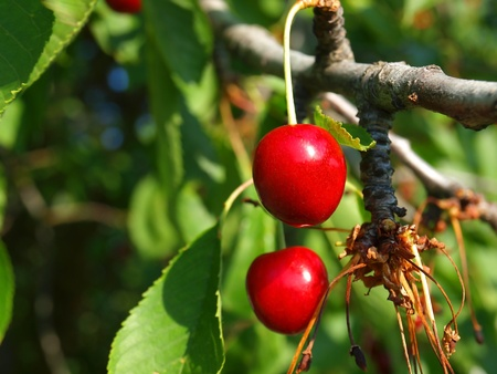 Bright Red Cherries Hanging from a Tree Ready to be Picked photo