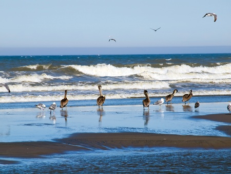 seabirds: A Variety of Seabirds at the Seashore Featuring Pelicans Stock Photo