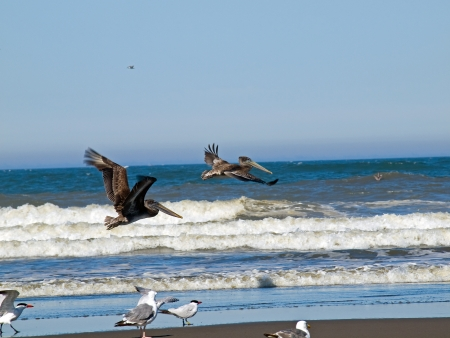A Variety of Seabirds at the Seashore Featuring Pelicans Stock Photo - 16592117