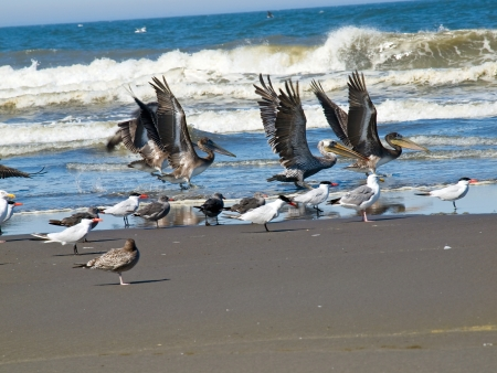 A Variety of Seabirds at the Seashore Featuring Pelicans photo