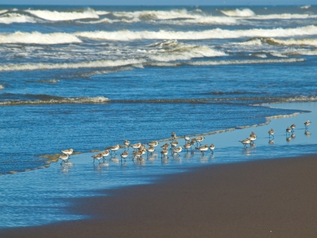 A Flock of Little Brown Seabirds at the Seashore photo
