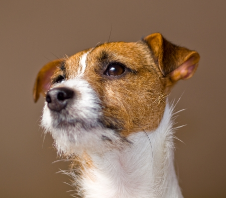 Portrait of a Cute Jack Russell Terrier photo