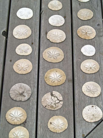 beachcomb: A Bunch of Sand Dollars on a Wooden Board