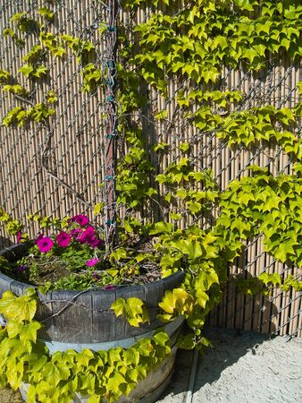 petunia wild: Violet Petunias growing in a wooden planter with ivy growing up a fence