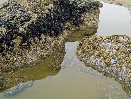 barnacles: Barnacles on Tidepool Rocks at the Beach at Ecola State Park Oregon USA