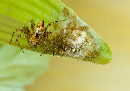 Spider and Babies on an Artificial Leaf photo