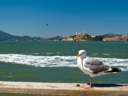 Seagull in San Francisco at Pier 39 with Alcatraz Prison in the Background