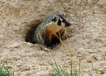 burrow: An American Badger at the Entrance of its Burrow Stock Photo