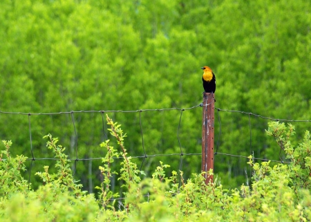 Yellow Headed Blackbird in the National Bison Range in Montana USA 免版税图像