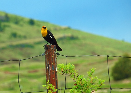 Yellow Headed Blackbird in the National Bison Range in Montana USA photo