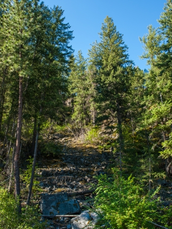 evergreen trees: Evergreen Trees Growing up a Rocky Hillside