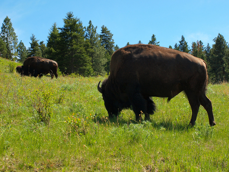 Large American Bison at the National Bison Range in Montana, USA photo