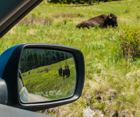Majestic American Bison at the National Bison Range in Montana, USA as Seen Through the Window af a Car and Mirror  photo