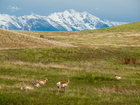 Antelope in a Field at the National Bison Range in Montana USA with Snowcapped Mountains photo