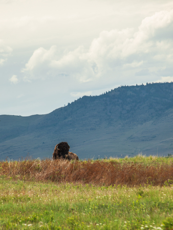 Majestic American Bison at the National Bison Range in Montana, USA photo