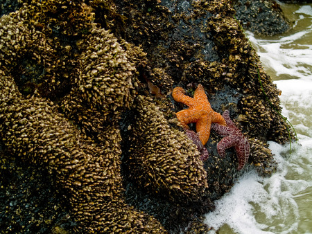 Starfish Attached to Rocks as the Surf is Coming In