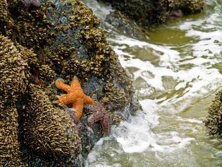 Starfish Attached to Rocks as the Surf is Coming In photo