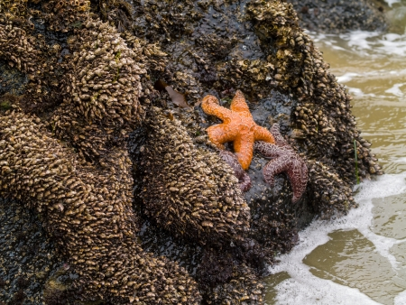 roaring sea: Starfish Attached to Rocks as the Surf is Coming In