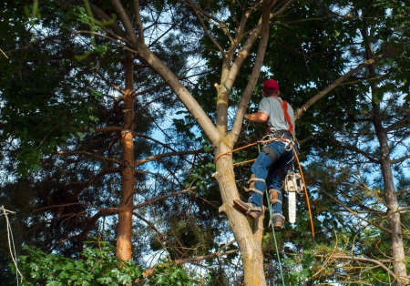 arborist: An Arborist Cutting Down a Maple Tree Piece by Piece Stock Photo