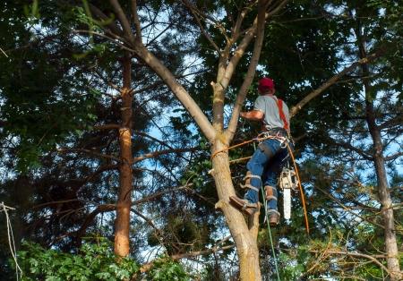 An Arborist Cutting Down a Maple Tree Piece by Piece Archivio Fotografico