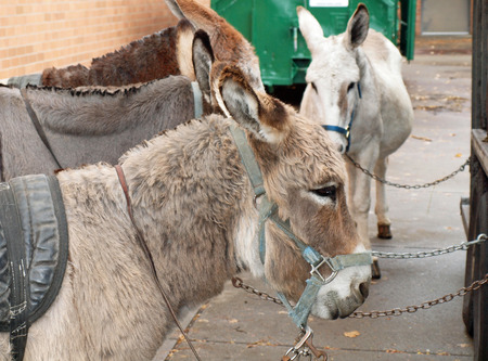 Four Adult Donkeys Harnassed and Chained Up Banco de Imagens