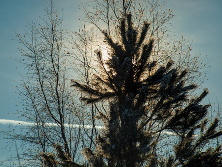 Silhouette of a Snowy Evergreen Tree with the Sun and a Bare Tree Behind photo