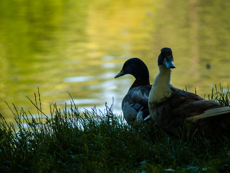 Two Ducks in Silhouette at the Edge of a Pond photo