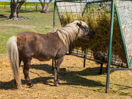 A Brown Shetland Pony Eating Hay out of a Horse Feeder Imagens