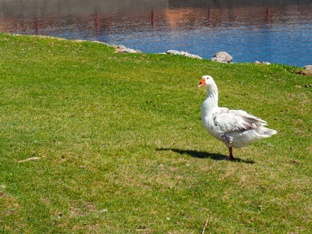 arched neck: A White Goose in a Green Field with a Pond in the Background