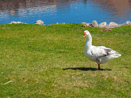 A White Goose in a Green Field with a Pond in the Background photo