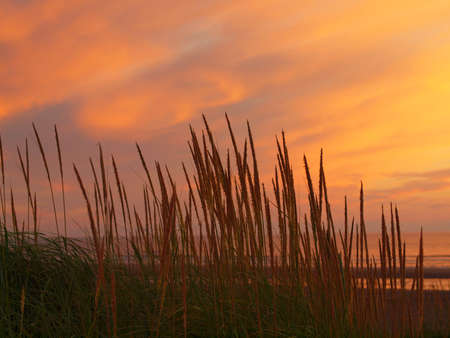 hirtshals: Golden and Pink Sunset at the Beach with Tall Grass in the Wind Stock Photo