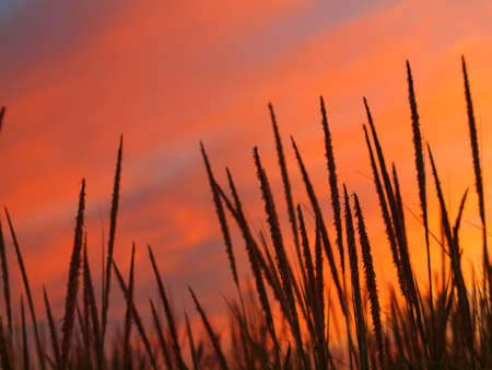 Golden and Pink Sunset at the Beach with Tall Grass in the Wind Stock Photo