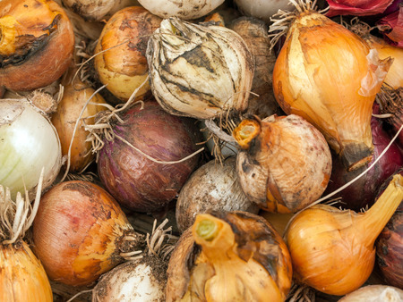 Yellow, Red, and White Onion Background photo