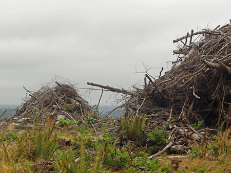 regeneration: Piles of Dead Tree Branches after Logging