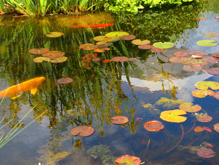 A Small Pond with Lilly Pads and Koi Fish Stock Photo