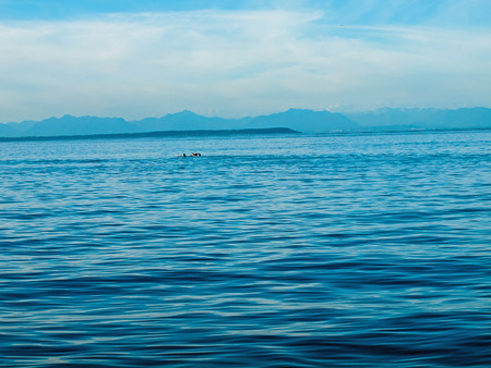 puget: Orca Whales on the Surface of the Water in Puget Sound, Washington USA Stock Photo