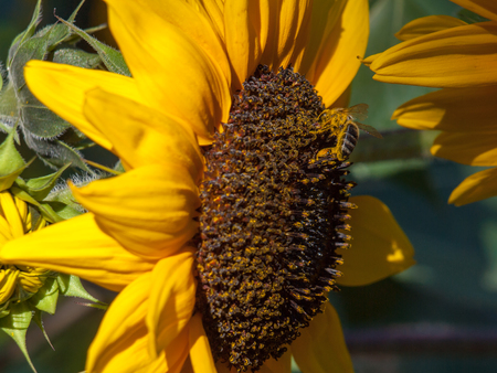 Honeybee Covered in Pollen on a Sunflower