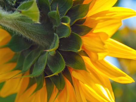 Bright Pretty Yellow Sunflowers in Full Bloom