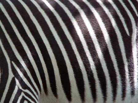 Zebra Exhibit at Zoo Boise in Boise Idaho USA Stock Photo - 65437624