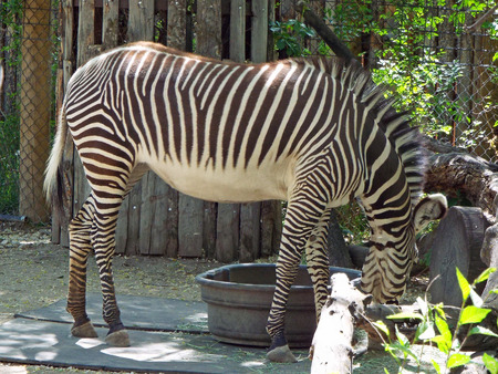 Zebra Exhibit at Zoo Boise in Boise Idaho USA Stock Photo - 65470641
