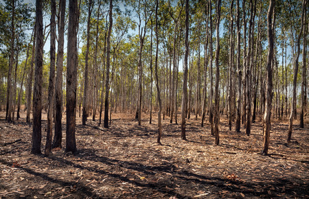 Large forest of straight trees with fallen leaves.  Northern Territory, Australia