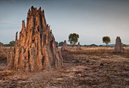 termite: Cathedral termite mounds (Nasutitermes triodae), Northern Territory, Australia