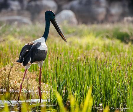 Hunting jabiru bird by the Yellow River. Northern Territory, Australia