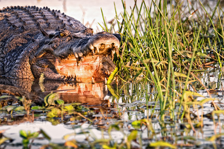 Ferocious Saltwater Crocodile. Northern Territory, Australia Stock Photo