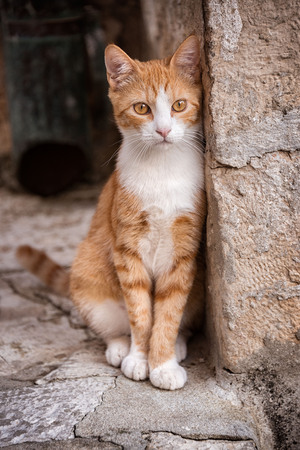 Single stray street cat leaning against a wall in historic Dubrovnik