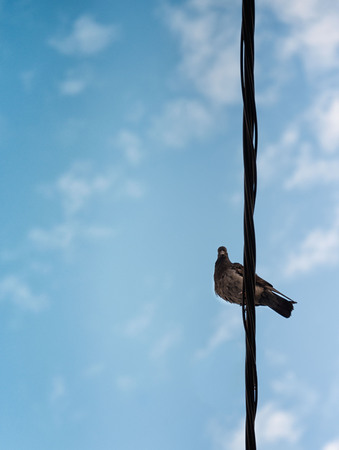 Curious pigeon on a powertelephone line lookng down at camera