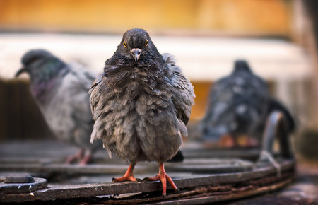 Eye contact with a wet ruffled wood pigeon after rain shower. Venice Italy Stock Photo