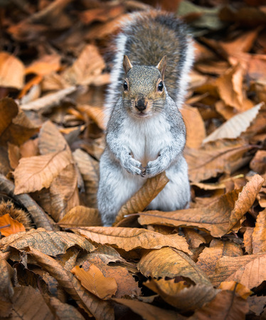 Eye contact with single adorable grey squirrel in a bed of fallen leaves