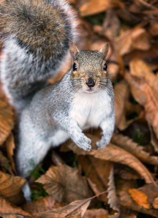 Eye contact with single adorable grey squirrel in a bed of fallen leaves Stock Photo - 84158090